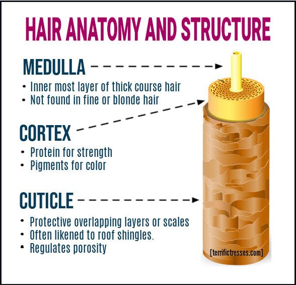 hair anatomy diagram, human hair anatomy, human hair structure, hair follicle structure, what is the cuticle of the hair, hair shaft diagram, hair follicle anatomy, hair shaft structure, human hair shaft, hair anatomy, hair shaft structure and function