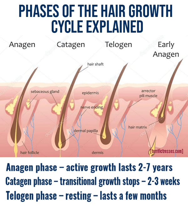 hair growth cycle, hair growth cycle chart, stage of hair growth cycle, different stages of hair growth cycle, phases of hair growth cycle, catagen phase of hair growth, anagen phase of hair growth, telogen phase of hair growth